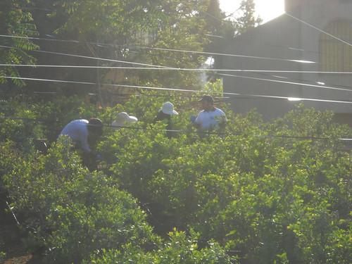 Tout Berry Crew picking Berries MAy 15, 2015 | by toutberryfarms
