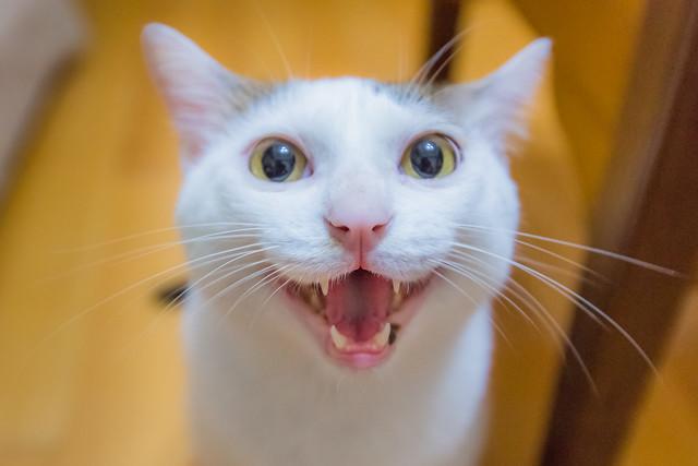 Cute but Upset Cat 嗔笑嬌難觸