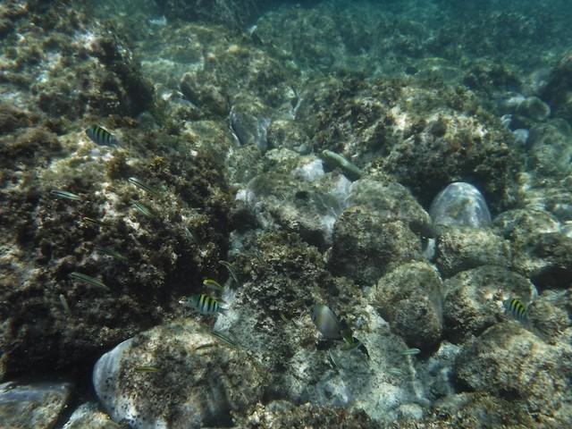 水, 2016-07-13 11:05 - 縦縞の魚