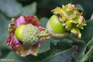 Knopper gall | by Dom Greves