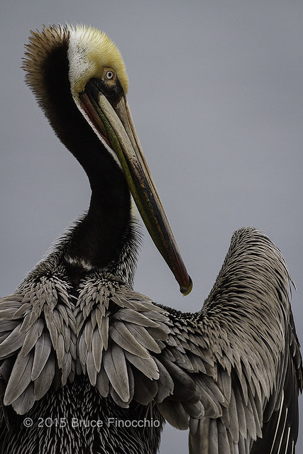 Brown Pelican With Wings Out For Drying