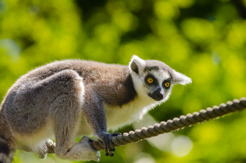 Ring-Tailed Lemur | by Mathias Appel