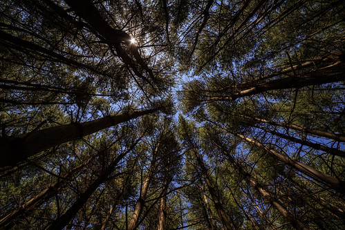 trees abstract nature forest project woods memorial pattern wideangle pines wpa helyarwoods superwide fieldofheroes rokinon14mm