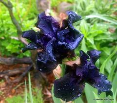 All Night Long~ Tall Black Bearded Iris