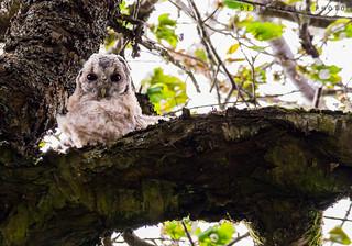 Wild Baby Tawny Owl ( Owlet )