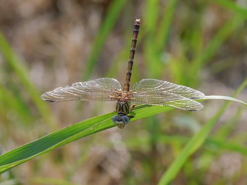 mikaelbehrens dragonfly texas wildlife gonzalesindependencepark insect gonzales unitedstates us