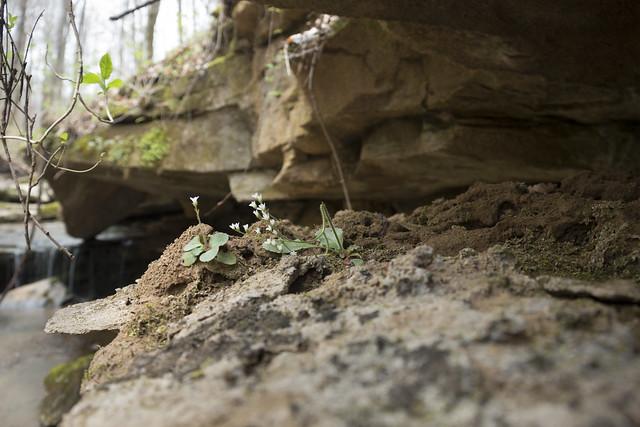 Saxifraga virginiensis, Standing Stone State Park, Tennessee 2