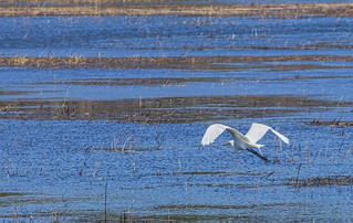Great Egret on the Wing