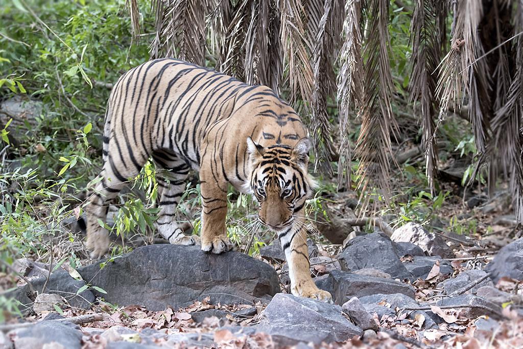 Sub adult Tiger, Zone 6 Ranthambore Tiger Reserve | Ranthamb… | Flickr