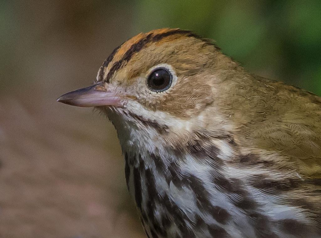 Ovenbird closeup