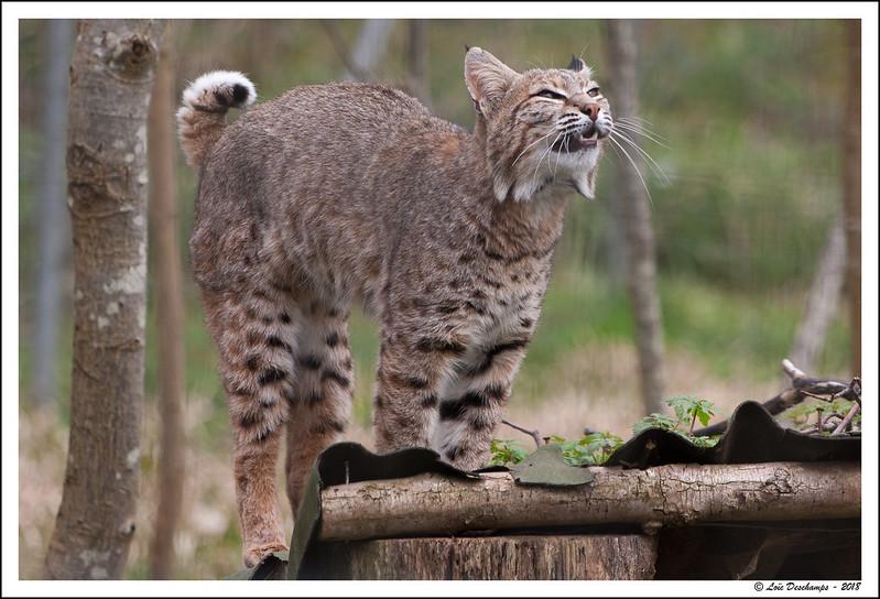 Lynx du Canada en plein feulement