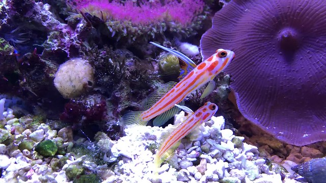 Orange-striped shrimp goby