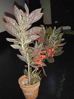 Trichantha dodsonii