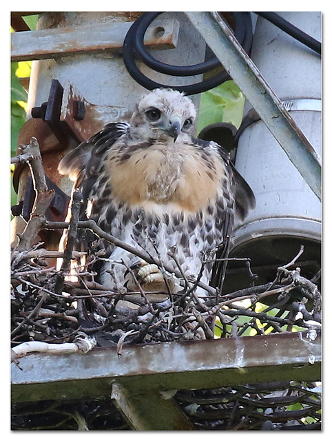 Red-tailed Hawk Siblings on Nest