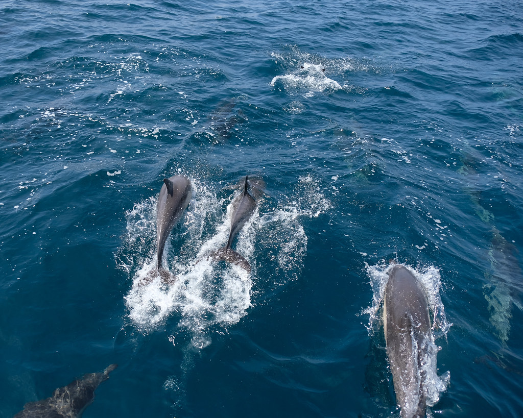 Dolphin & Whale Watching Tour, Dana Point 4/23/18 #captdaves #dolphins
