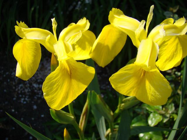 IRIS sauvage jaune.