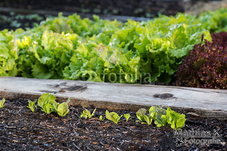 Salatpflanze