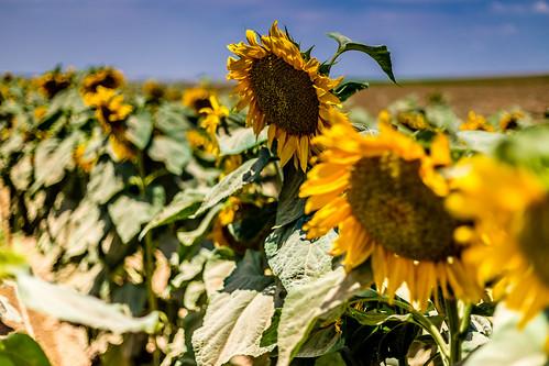 flowers flower nature landscape israel focus sunflowers sunflower