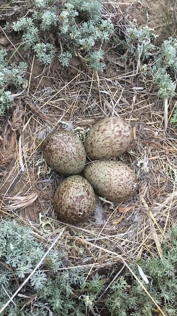 pipping curlew eggs, Polecat