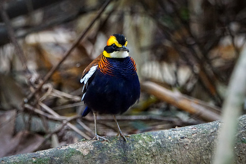 (Malayan) Banded Pitta (male) | by arnewuensche66
