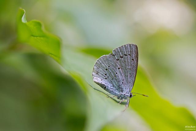 Boomblauwtje - Holly Blue