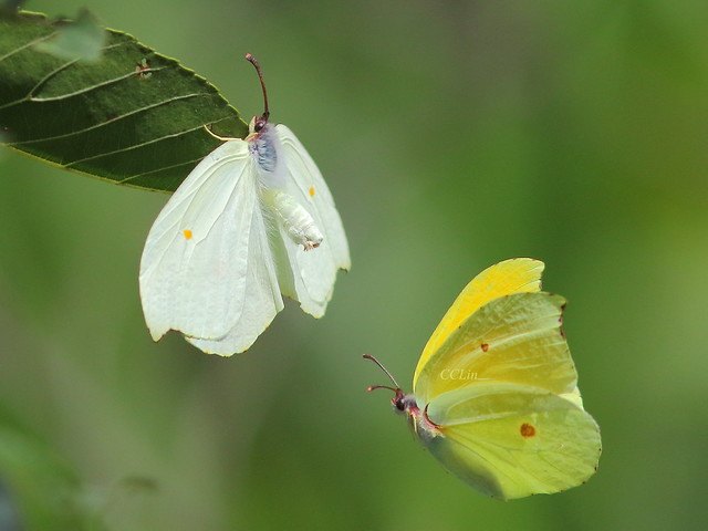 4I6A8094紅點粉蝶,左雌右雄 (Gonepteryx amintha formosana)