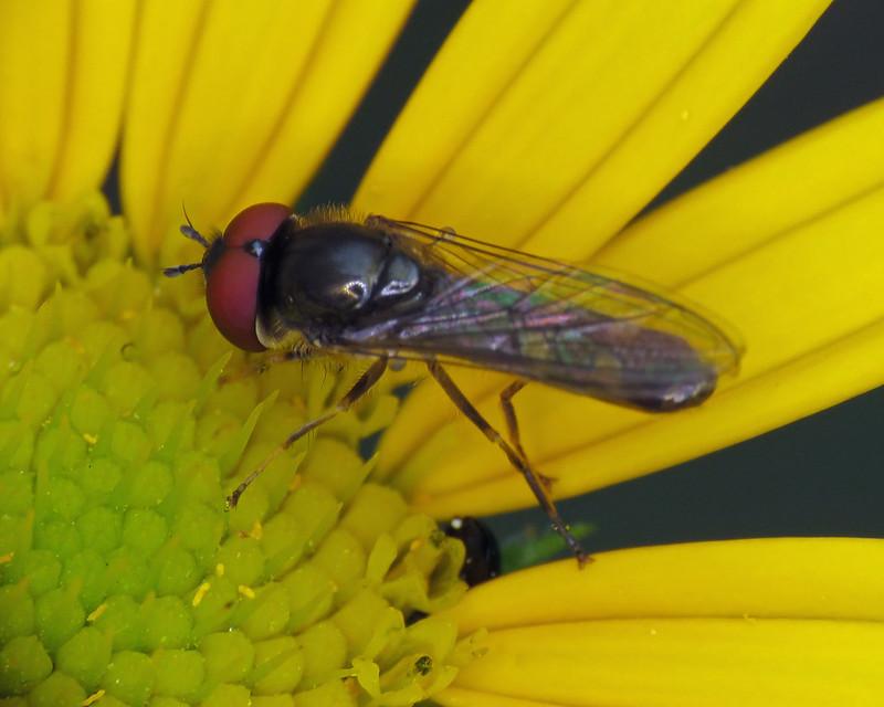 Platycheirus albimanus/scutatus agg.