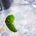 キミドリ(命名うた) #アゲハ #青虫 #insect #butterfly #nature #japan