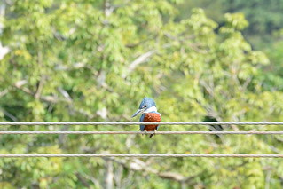 "A kingfisher on the road to ""El Pescador"" 