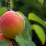 P1000840 杏 Apricot
