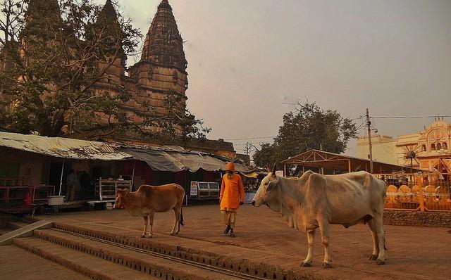 INDIEN, india-Orchha, im Stadtzentrum, fast mehr Kühe als Menschen, 14068/6909