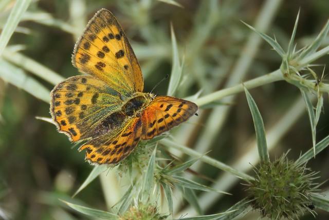 Butterflies of Bulgaria: Purple-shot copper (female)