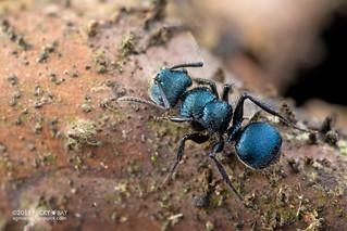Blue ant (Echinopla striata) - DSC_8914