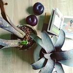 左:billbergia,右:鶯歌·桑得西。  現實中又重新建立起求生意志時,下意識又會入手幾盆盆栽。腦子要記住越來越多名字,只好照片為證,一一註記。我喜歡那些斑點如星光散逸,神秘的墨綠、紅紫、藍綠、墨紫,這些對大多數人來說較為冷門的積水鳳梨,安靜地自攬優雅美色,生命力卻又強悍,非常得人疼。