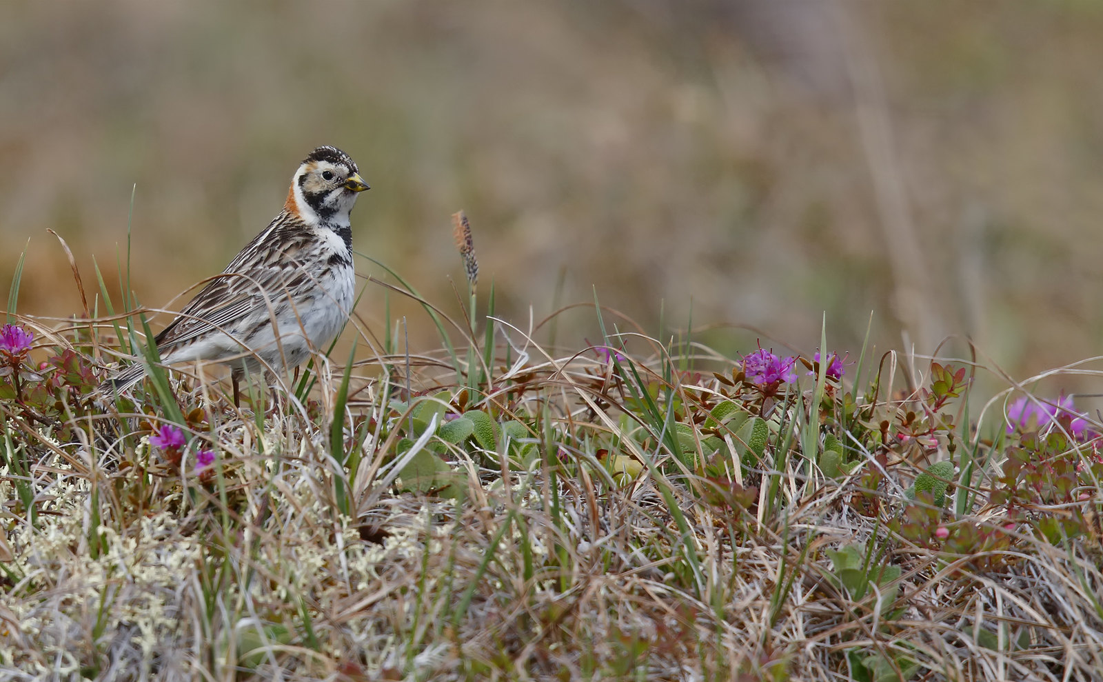 Lapland Longspur [Bunting]