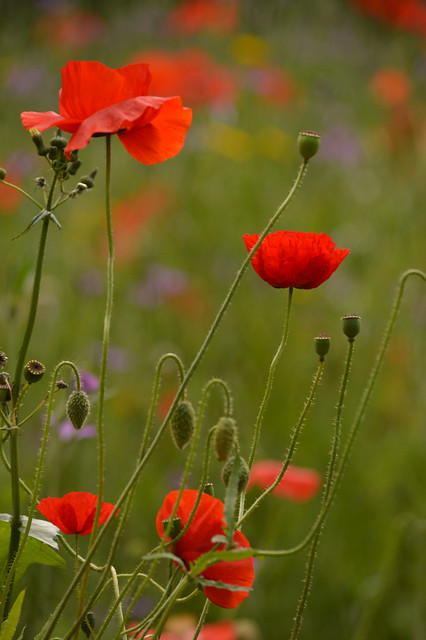 Red Poppies - 2