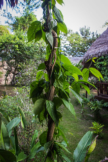 Ayahuasca Vine | by Apollo⠀