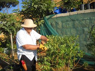 Talal Blueberry pruning a Jun 23, 2014 | by toutberryfarms