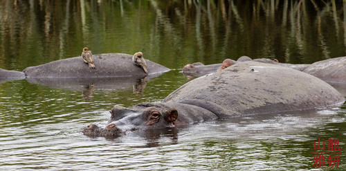 Hippos and Oxpeckers | by DragonSpeed