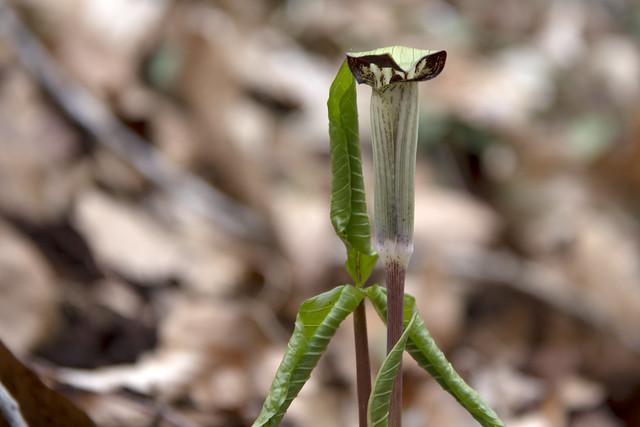 Arisaema triphyllum, Wheeler Farm trail, Fall Creek Falls SP, Van Buren County