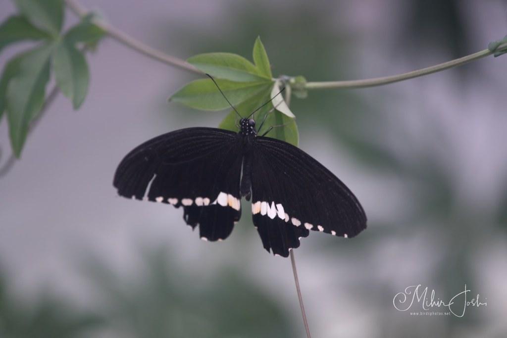 Common Mormon [Papilio polytes ledebouria]