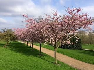 Alexandra Palace cherry blossom 2018 | by Fran Pickering
