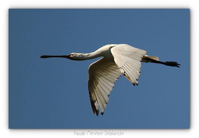 Spatule blanche - Eurasian Spoonbill