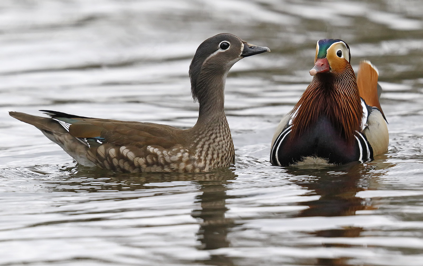 Mandarin drake and female