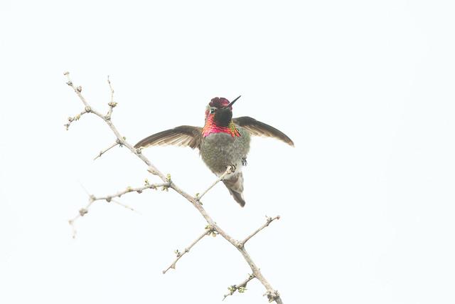 Colibri d'Anna / Anna's hummingbird