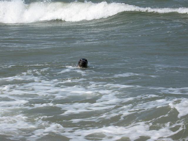Seal in the sea near Waxham, Norfolk