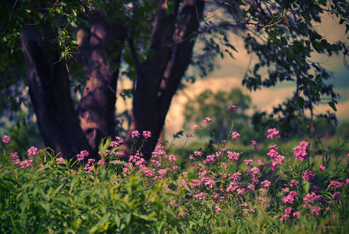 pink flowers light sunset tree green grass leaves clouds gold evening illinois spring nikon soft purple bokeh branches smooth il fantasy prairie d200 naperville magical f28 gentle riverview farmstead 105mm hesperismatronalis damesrocket napervilleil nikond200 willcounty nikonafsvrmicronikkor105mmf28gifed riverviewfarmstead