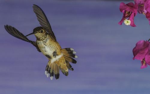 flowers flores detail nature fleur hummingbird feeding flor clarity sharp poway hummer bif naturephotography birdinflight selasphorusrufus manualmode offcameraflash paintedbackdrop avianphotography aerialmaneuver yn560 yn560ii yongnuorf603n yn560iii
