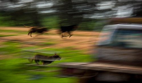 Farm Dogs running fast
