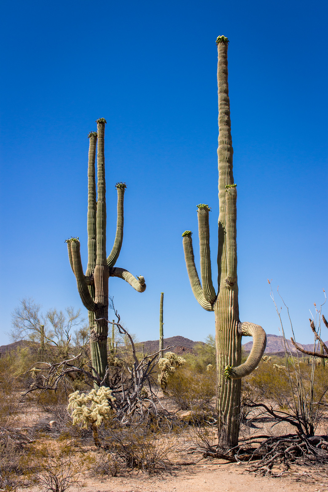 Two tall saguaro cactus with white flowers on their crowns